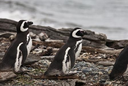 Wildlife Wednesday: Magellanic Penguins