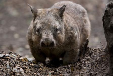 Wildlife Wednesday: Northern Hairy-Nosed Wombat