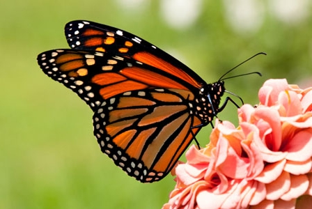 Wildlife Wednesday: Monarch Butterfly