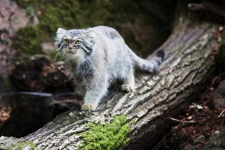 Wildlife Wednesday: Pallas's Cat