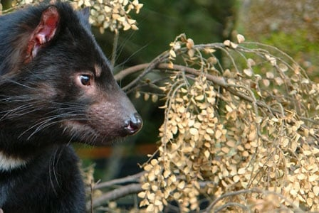 Wildlife Wednesday: Tasmanian Devil