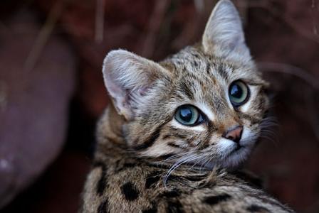 Wildlife Wednesday: Black-Footed Cat