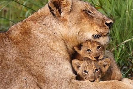 Wildlife Wednesday: African Lion