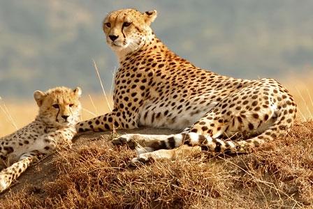 Wildlife Wednesday: Cheetah