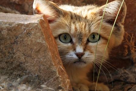 Wildlife Wednesday: Sand Cat