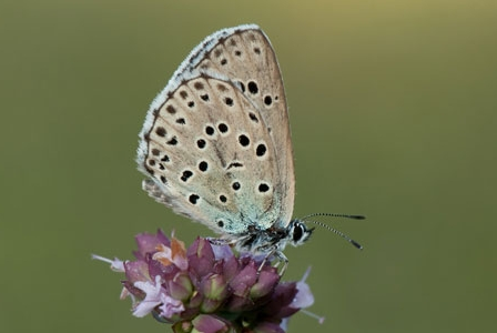 Wildlife Wednesday: Large Blue Butterfly