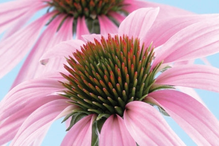 Embracing Echinacea