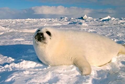 Melting Ice Puts Harp Seals at Risk