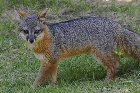 Wildlife Wednesday: Island Fox