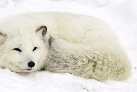 Wildlife Wednesday: Arctic Fox