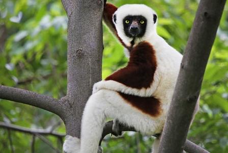 Wildlife Wednesday: Coquerel's Sifaka