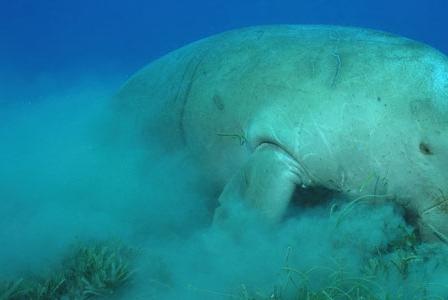 Wildlife Wednesday: Dugong