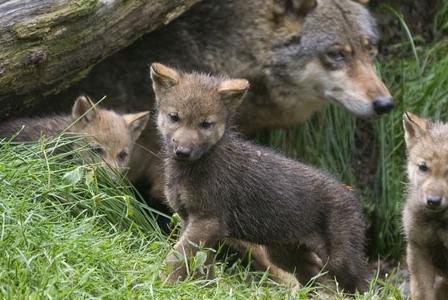 Wildlife Wednesday: Gray Wolf