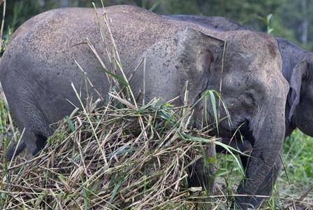 Wildlife Wednesday: Borneo Pygmy Elephant