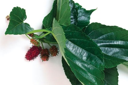 Here We Go Round the Mulberry Leaf