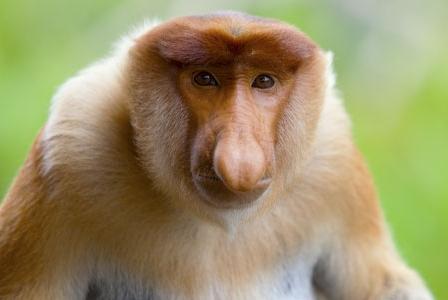 Wildlife Wednesday: Proboscis Monkey