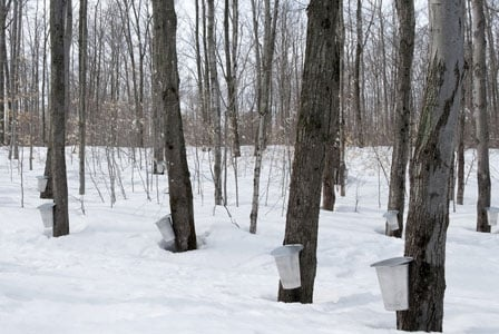 Will Climate Change Threaten Our Beloved Maple Syrup? It's Hard to Tell