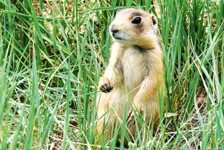 Wildlife Wednesday: Utah Prairie Dog