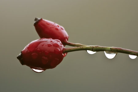 Remarkable Rosehip