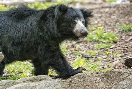 Wildlife Wednesday: Sloth Bears