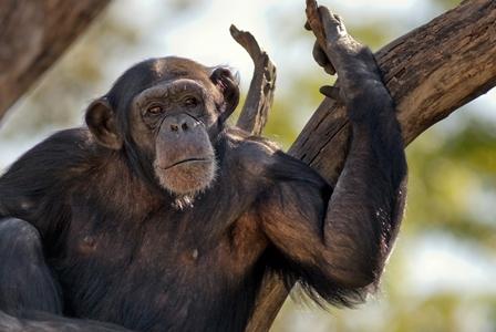 Wildlife Wednesday: Chimpanzee