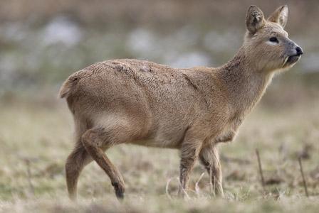 Wildlife Wednesday: Chinese Water Deer