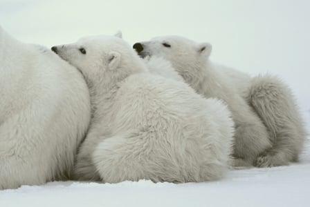 Wildlife Wednesday: Polar Bear