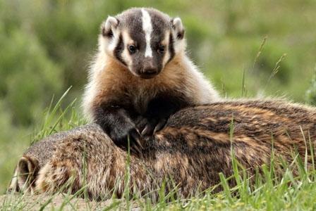 Wildlife Wednesday: American Badger