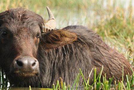Wildlife Wednesday: Wild Water Buffalo