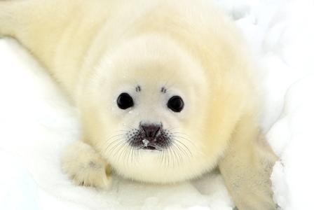 Wildlife Wednesday: Harp Seal