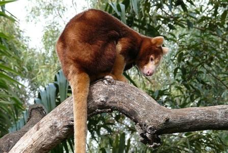Wildlife Wednesday: Tree Kangaroo