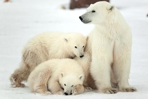 It's International Polar Bear Day