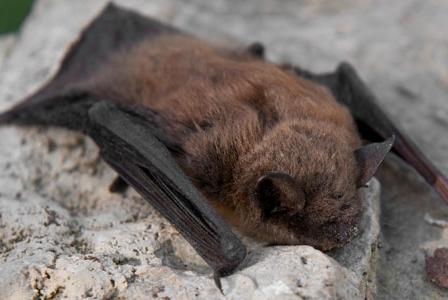 Wildlife Wednesday: Little Brown Bat