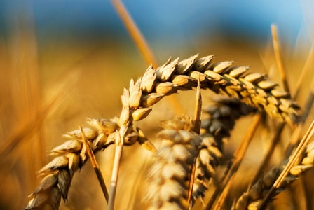 Ditch wheat for better health?