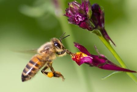 Wildlife Wednesday: Honeybee