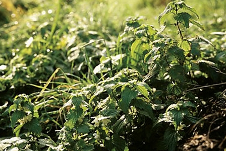 Nettles, Beyond the Sting