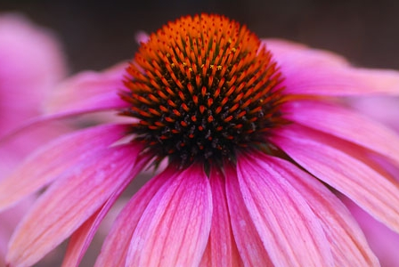 10 Reasons to Stock up on Echinacea