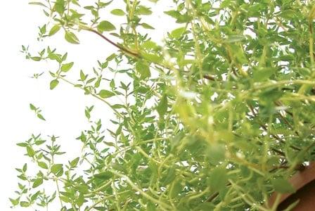 Take Thyme for Respiratory Health