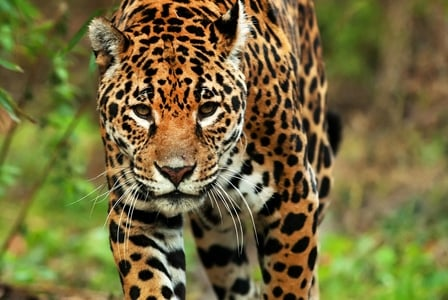 Wildlife Wednesday: Jaguar