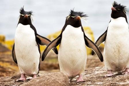 Wildlife Wednesday: Rockhopper Penguin
