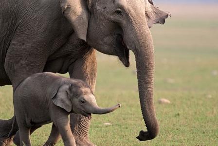 Wildlife Wednesday: Asian Elephant