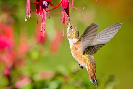 Wildlife Wednesday: Rufous Hummingbird