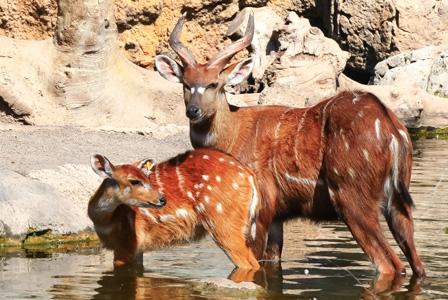 Wildlife Wednesday: Bongo