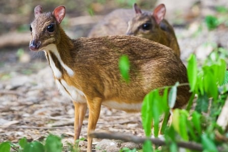Wildlife Wednesday: Java Mouse-Deer