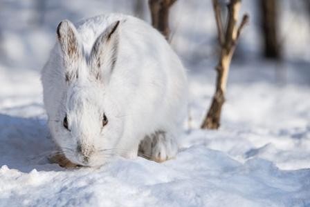 Wildlife Wednesday: Snowshoe Hare
