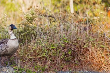 Wildlife Wednesday: Nene Goose