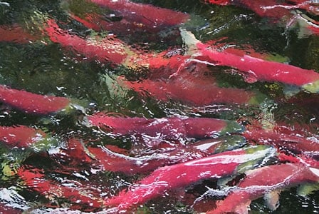 Sockeye Salmon Stocks Are In Widespread Decline