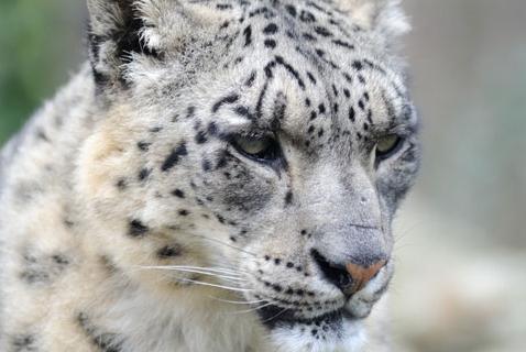 Wildlife Wednesday: Snow Leopard