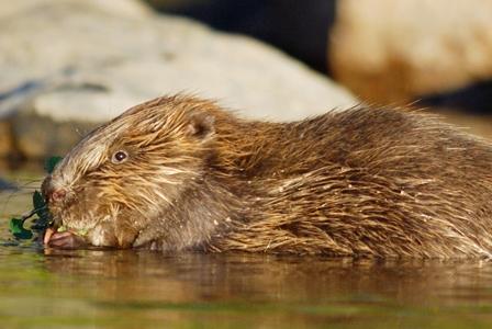Wildlife Wednesday: Eurasian Beavers