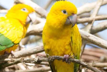 Wildlife Wednesday: Golden Parakeet